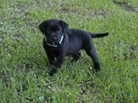 Stunning black laboratory young puppies, AKC
