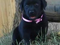 Beautiful and strong AKC registered Labrador Retriever