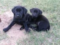 8 week old AKC Registered lab young puppy with dew
