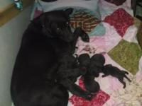 Beautiful akc registered Labrador retriever puppy's