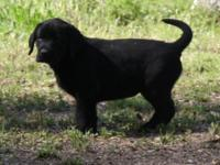 AKC registered Labrador Retrievers -1 Yellow guy and