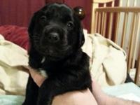 Labrador Retreiver Puppies For Sale! Puppies will