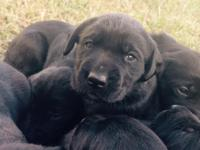 We have 8 black Labrador Retrievers for sale. 4 males &