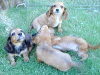 We have four miniature long-haired dachshund puppies