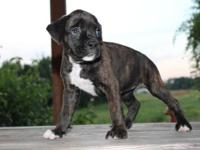 AKC Registered Male Boxer Puppy. Reverse Brindle with