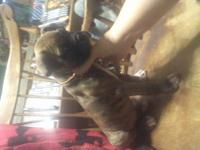 AKC REGISTERED BRINDLE MALE BOXER I am looking for a