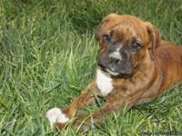 Adorable AKC registered male brindle boxer puppy. Date