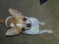 I have a beautiful akc registered male chi. Was going