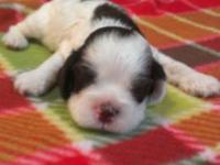 Now taking a deposit on a Brown & White male Akc