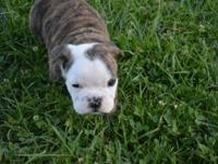 We have 2 absolutely precious brindle male bulldogs for