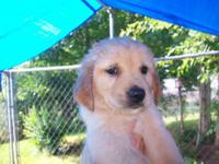 AKC Registered Male Golden Retriever Puppy-- Beautiful