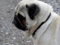 Snickers is a very nice male Pug. He's AKC registered