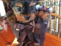 Akc signed up male yorkie young puppies will be all set