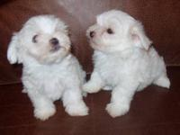 Adorable, tiny little teacup Maltese puppies born on