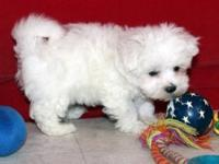 Akc registered Maltese pups now for sale...they are all