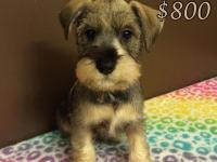 I have 6 AKC mini schnauzer puppies for sale, DOB