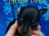 Akc Registered Miniature Pinscher puppies. Born :
