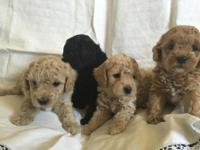 Accepting deposits! AKC registered Miniature Poodles.