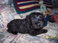 AKC male Miniature Schnauzer puppy. Raised in my home