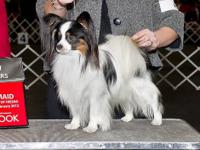 AKC Papillon Dog, born 02/2007. This is a retired show