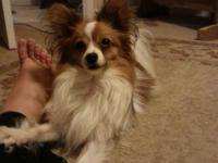 Beautiful male papillon. AKC registered. . He is house