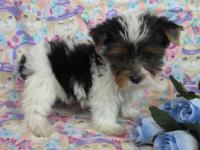 Adorable Yorkshire Terrier puppies, These babies are