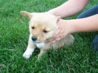 I have 3 Corgi puppies for sale. Puppies are AKC
