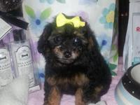 Akc Toy Poodle Rare Phantom Color Ready For Sale In West