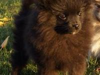 I have 2 beautiful full breed POMERANIAN akc registered