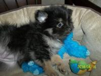 We have a AKC Registered Lady Pomeranian she is serum