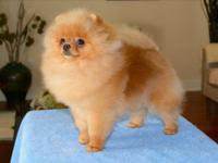 eet AKC Prince the stunning pomeranian he is totally