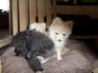 AKC registered Pomeranian puppies 2 males 1 female.