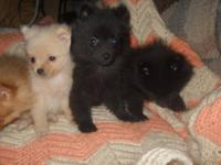 AKC registered female pomeranian black with white chest