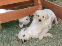Purebread, AKC registered and Papered Golden Retriever