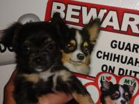 I have three akc Chihuahua puppies left. 2 female and