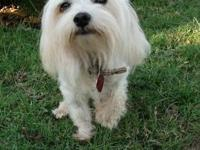 Beautiful male Maltese weighs just 4 1/2 pounds, He has