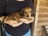 This male miniature dachshund puppy was born on May 26,