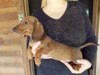This red male miniature dachshund puppy was born on May
