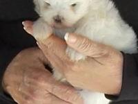 Adorable, tiny little teacup Maltese puppy born on