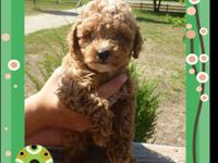 AKC Registered Dark Red Toy Poodle Puppies - Ruby is 7