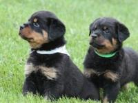 Beautiful Rottweiler puppies that have boxy German
