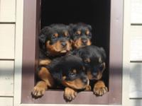 German Rottweiler Puppies born 9/2/15. Ready to go
