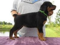 AKC registered, BIG, BOLD well marked, healthy puppies