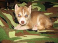 2 Male AKC registered Siberian husky puppies. they are