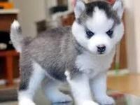 AKC registered Siberian Husky Puppies  and up to