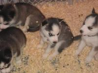 Pitbull Blue Nose Pets And Animals For Sale In The Usa Puppy And