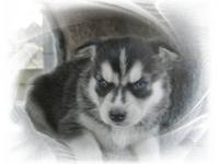 we speacialize in breeding, the finest pet quality. akc