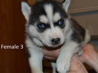 We have 2 female AKC Registered Siberian Husky Puppies