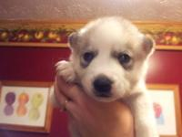 I have 4 male siberian husky puppies available out of a