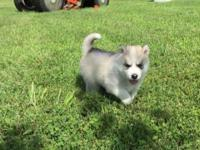 AKC Registered Siberian Husky puppies. Ready for a